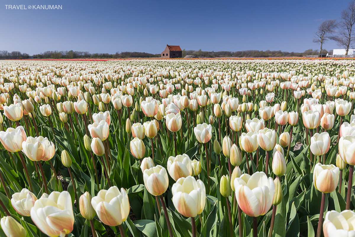 Tulips field in Holland